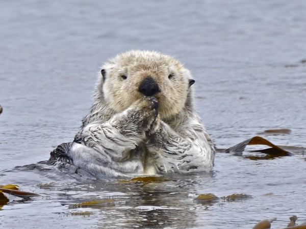 Oh, you mean an actual Sea Otter.